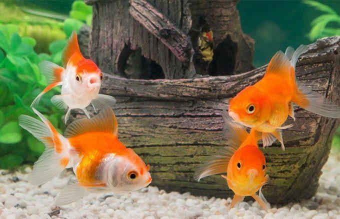 mơ thấy cá vàng